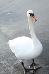 Schwan auf zugefrorenem Teich