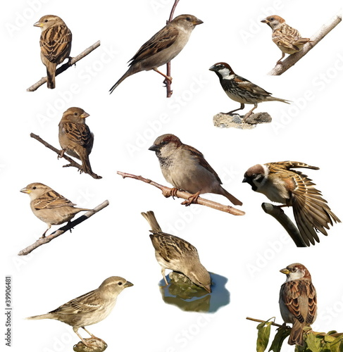 Set Sparrow , isolated on white background