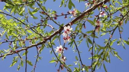 Almond flowers 02