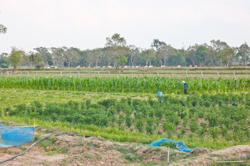 The agriculture joint plantation
