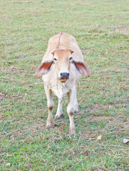 The cow eating grass and chewing in farm