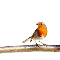 European robin on a branch