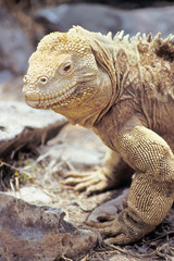 Santa Fe land iguana, Galapagos Islands, Ecuador