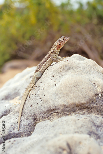 Lava lizard, Galapagos Islands, Ecuador