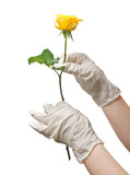 Hands of a doctor in a sterile gloves holding a rose poster