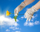 Hands of a doctor in a sterile gloves holding a dew in the sky poster