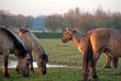 Wild horses in the light of sunrise