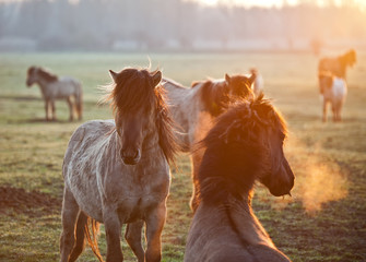 Wild horses in the light of sunrise