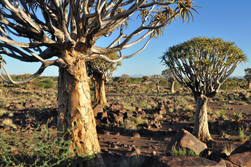 quiver tree forest,Namibia