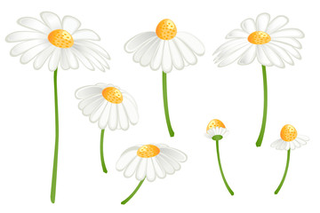 Set of camomile flowers. Matricaria chamomilla