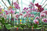 Fototapety Orchid plantation in greenhouse