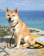 A Shiba Inu puppy in Kailua, Oahu, Hawaii.