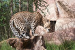 Leopard (Panthera Pardus) gets up