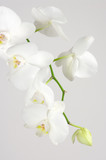 Fototapety Orchid branch
