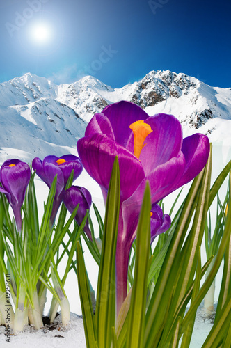 Fotobehang Krokus Springtime in mountains, crocus flowers in snow