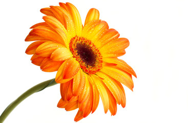 The opange gerbera