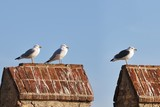 Three different gulls standing on a crenellation