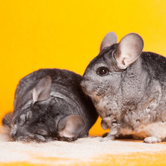 Two Silver Chinchillas bathing in sand