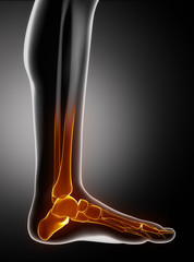Feet bones anatyomy with toes lateral view