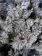Hoar Frost Covered Bush