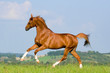 Chestnut Bavarian horse gallops on the hill