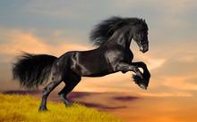 Galope cheval noir frison au coucher du soleil