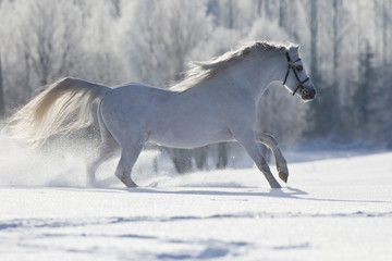 White Welsh horse running in winter © Alexia Khruscheva