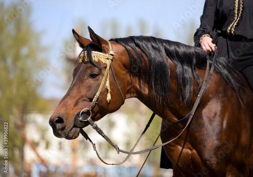 Bay portret koni arabskich