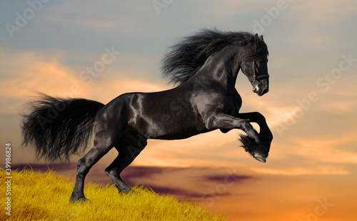 Black Friesian horse gallops in sunset