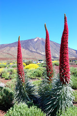 Echium wildpretii plant also known as tower of jewels, red buglo