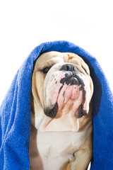 Bulldog in a towel