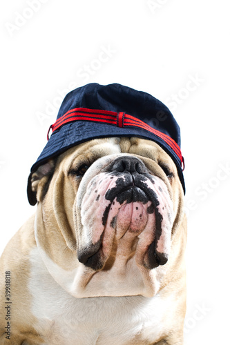 English Bulldog in a hat portrait