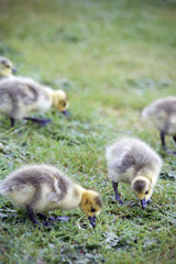 Goose Gooslings
