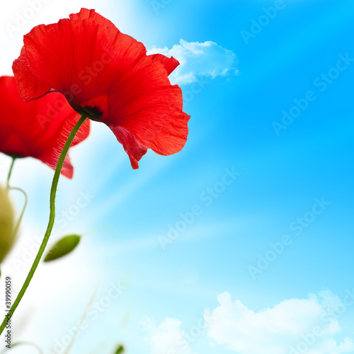red poppies, blue sky and sun background