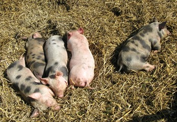 Sleeping piglets in the straw