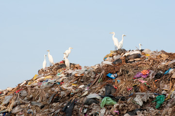 egrets on the garbage heap