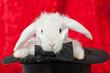 weißes Kaninchen im Zylinder