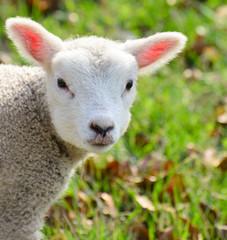 Newborn spring lamb