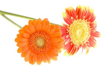 Orange and yellow gerbera daisy family