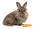 A cute chocolate lionhead bunny rabbit with a carrot