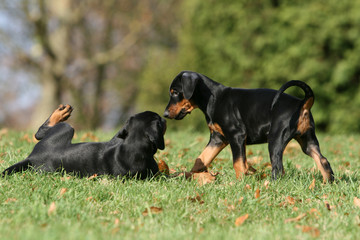 chiots dopbermann jouant ensemble
