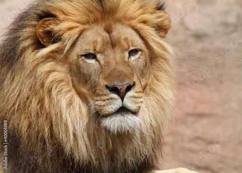 Papiers peints Lion lion male