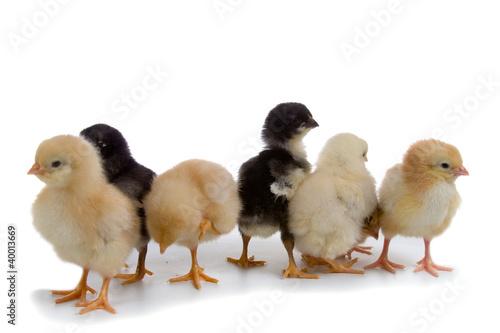 Fototapeten,küken,huhn,gelb,vögel