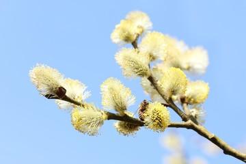 Weidenzweig mit Honigbiene