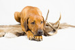 cute dog laying down on reindeer fur with antler beside
