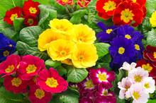 Kolorowe świeże kwiaty pierwiosnki wiosenne
