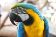portrait of blue and yellow macaw.