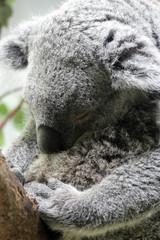 Sleeping Koala holding a baby