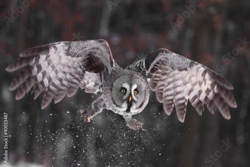 Fotobehang Uil Great Grey Owl lat. Strix nebulosa