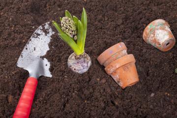 studio-shot of planting a hyacinth flower bulb in flower soil